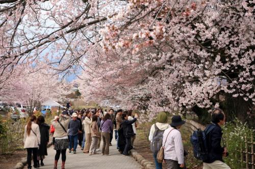 車で山梨-1 ★北杜市・桜の花咲く大津山実相寺