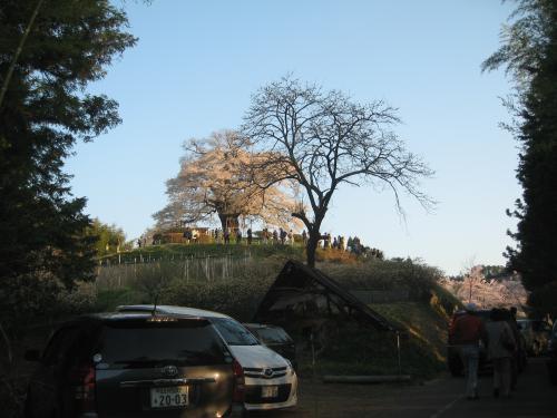 桜 さくら サクラ sakura