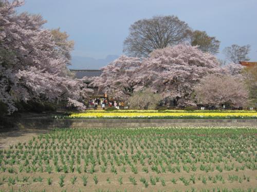 甲斐駒ケ岳と桜の共演 「実相寺の神代桜」 (2009年)