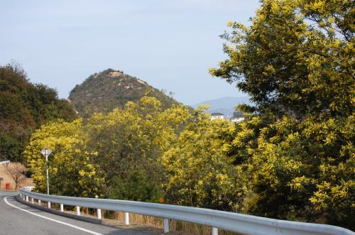 玉野市深山公園のミモザ