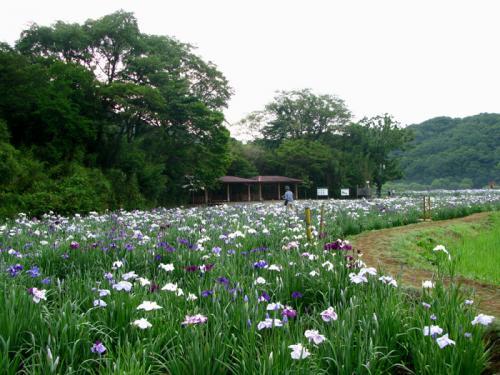 花しょうぶと紫陽花を訪ねて
