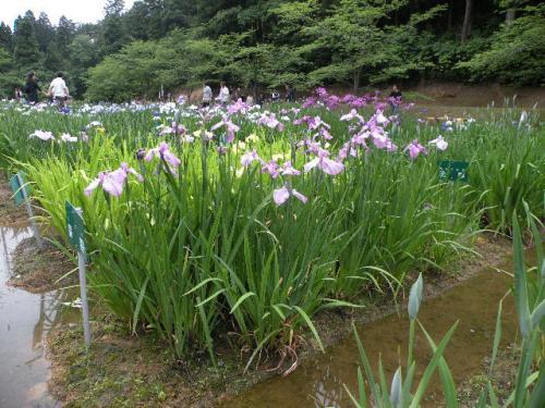 北陸1泊2日温泉旅行。。。その10「頼成(らんじょう)の森の花しょうぶ祭り」