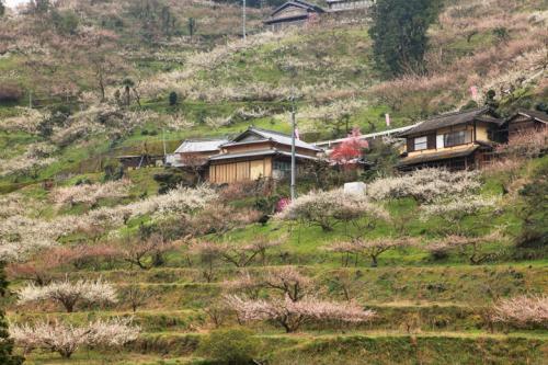 賀名生梅林(あのうばいりん)、二万本の梅、花の雲。 /奈良県西吉野