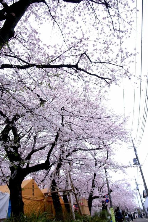 雨のお花見@洗足池公園2010~GR DIGITALⅡ~