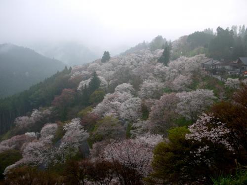 吉野千本桜と根来寺の桜
