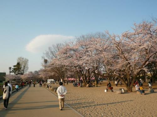 桜の季節到来~青空のもとの山形霞城公園♪