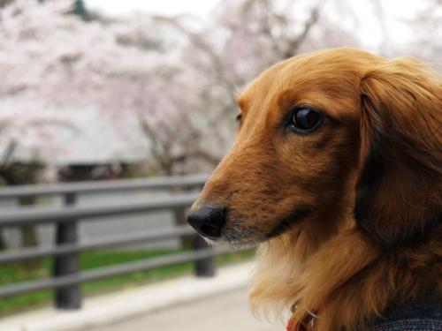 けびぞーと行く桜巡り④ 「角館武家屋敷のしだれ桜と桧木内川堤の桜」