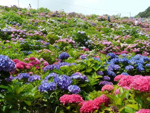 紫陽花と温泉を楽しみに・・・・・