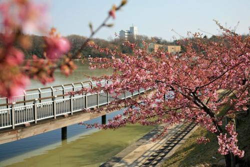 小さな旅●大府市二ツ池公園の河津桜と春咲く花たち