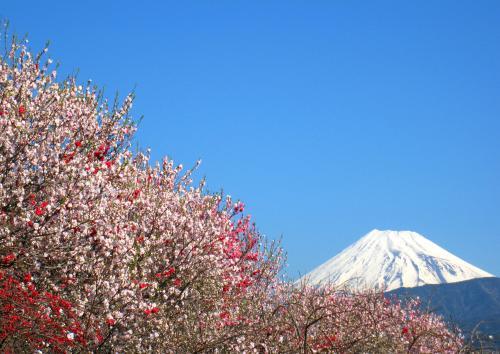 祈りの春に咲くサクラ