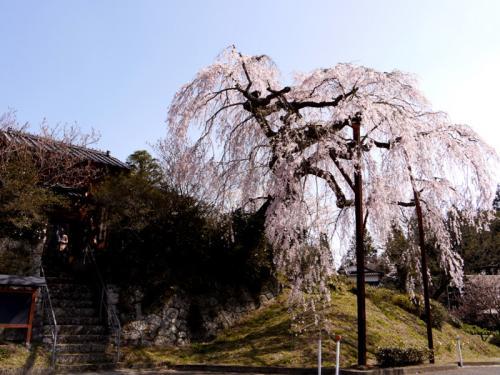 耶馬溪散策 満開のさくらと「桧原(ひばる)まつ」のお田植え祭 2−1