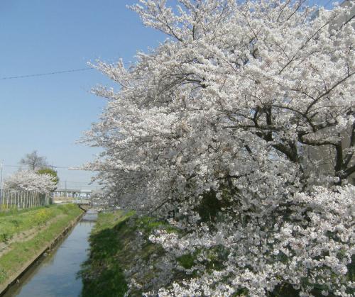 南埼玉の桜