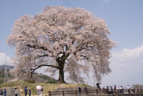 一本桜と桃を見に行こう