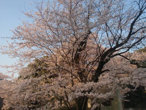 GOGOみのたん お花見だよ  桜の季節は出会いの季節 ウフフの季節