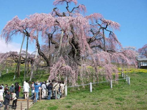 ようこそ福島へ! ~樹齢千年~1度は見たい!満開の滝桜(*^-^*)