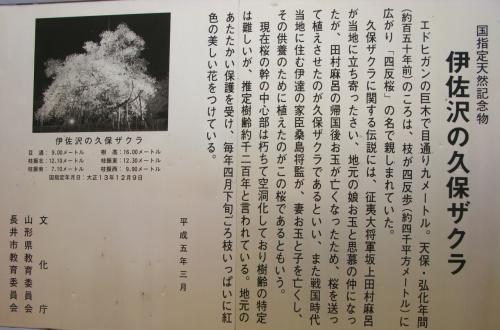 置賜/長井市 伊佐沢の久保桜は樹齢1200年 ☆枝振り堂々/開花も近く