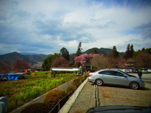 山梨 慈雲寺 糸桜 を見に行ってきたよ日記