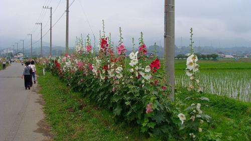 南足柄市の花あおい