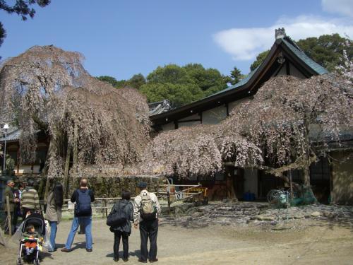 奈良公園から郡山城のお城まつり~桜と和菓子でにっこり♪