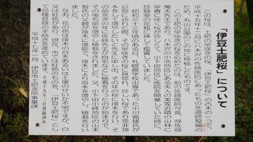 大寒波に打ちのめされた土肥温泉の桜・・・丸山スポーツ公園の桜