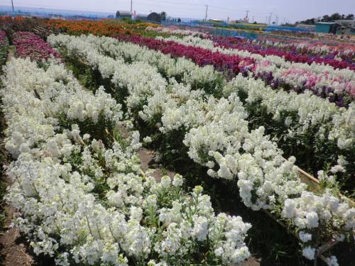 千倉・白間津の花畑