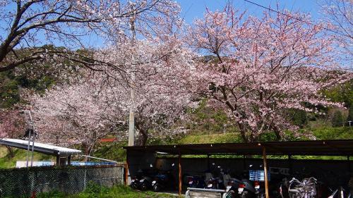 下田市・・・お吉の淵周辺の花見<下田自動車学校横の堤>