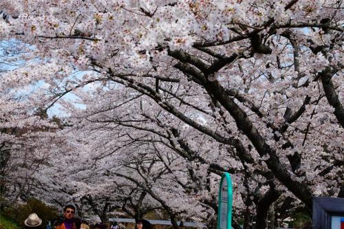 桜 in はままつフラワーパーク