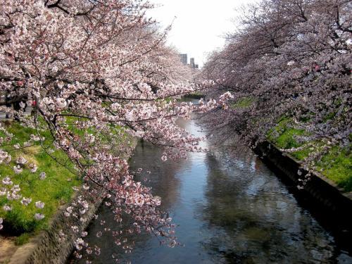 2012.4.7 恒例の岩倉五条川桜まつり&ちょっとだけ夜桜♪