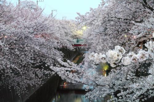 【速報】石神井川の桜並木(中板橋)