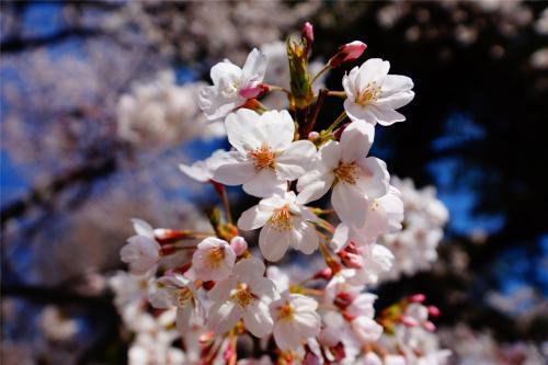 新宿御苑 桜を見に初潜入