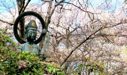 川越☆ 中院と喜多院の枝垂桜