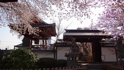 地蔵院の枝垂れ桜・・・ふじみ野市