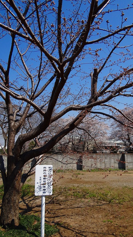 長勝院旗桜は開花した所でした。