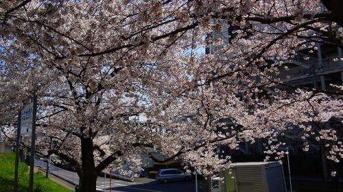 柳瀬川堤の桜並木