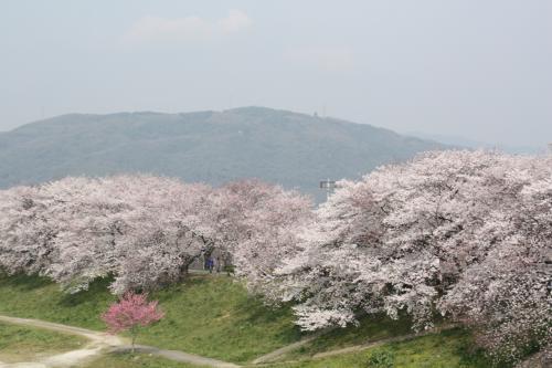 2012年京都の桜④ 八幡背割堤・石清水八幡宮・松花堂庭園