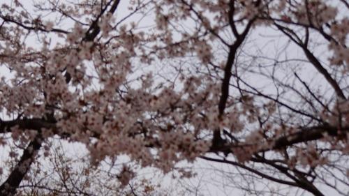 吉川市 沼辺公園の花見