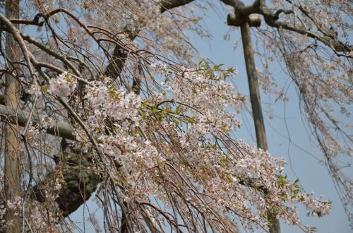満開の桜と美術館、途中下車は畑の枝垂れ桜 in Siga