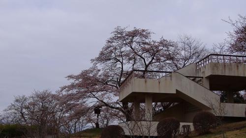 皆野町 早朝の美の山公園の花見