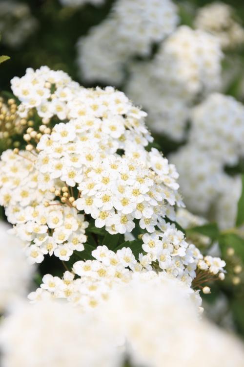 智光山公園の名物のハンカチノキや初夏の花を一眼レフでチャレンジ!