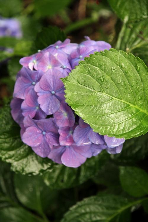Solitary Journey [1066] 梅雨どきの花、紫陽花と言えばアマガエル?やっぱ、カタツムリでしょうネ。<康徳寺の紫陽花>広島県世羅町
