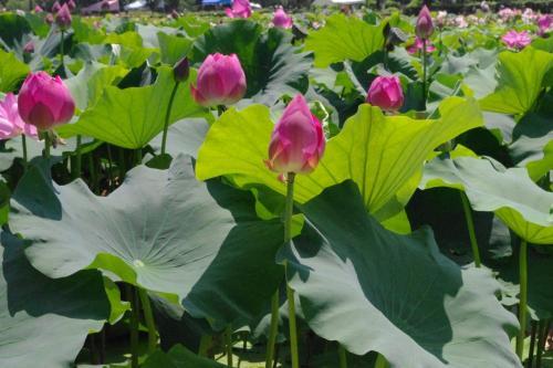 福井へドライブ 花蓮公園と水中花・梅花藻を愛でて優美な造りの大瀧神社へ