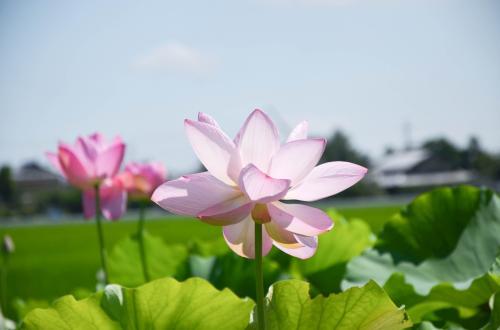 群生する「蓮」、夏の花を撮りに車は北へ in Siga