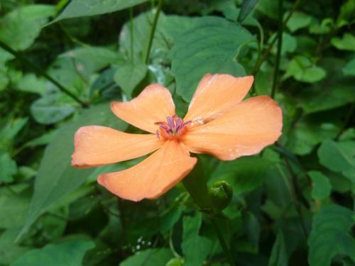 タカネビランジ咲く鳳凰三山 花の山旅♪ 出会ったお花たち
