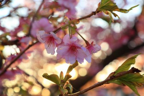 静岡 河津桜と稲取のつるし雛