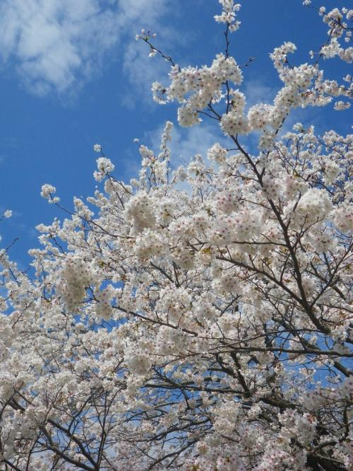 名もなき桜名所を彷徨えば−−−。(足柄平野の桜花)