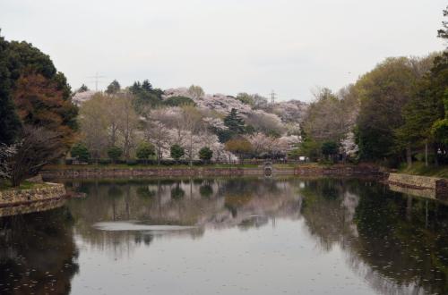 桜便り 横浜 三ツ池公園、馬場花木園など 2013