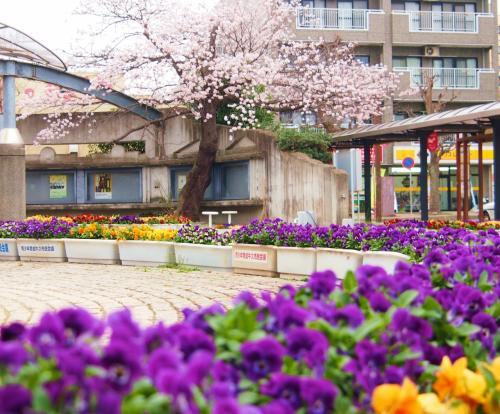修復中のシャトーカミヤですが・・・桜は今年も美しく咲き誇り・・・