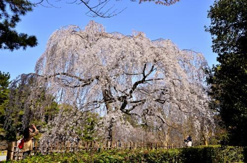 京都 芳葩爛漫 花見紀行<前編>京都御苑