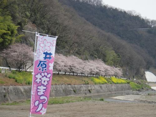 桜のトンネルが2Km以上続く井原堤(岡山県)すばらしい!