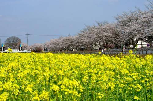2013年観桜記 (4)真岡 一万本桜まつり